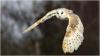 310 Barn Owl in flight.jpg