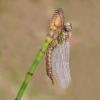 316 Hairy Dragonfly on Horsetail.jpg