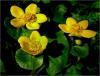 324 Marsh Marigolds.JPG