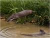 329 Jumping Otter.jpg