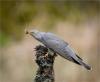 333 Cuckoo With Caterpillar.jpg