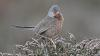 414 Perched Dartford Warbler.jpg