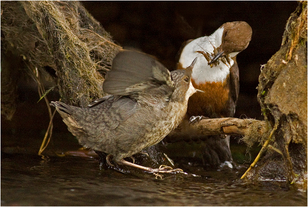 100am-hungry-dipper-fledgling