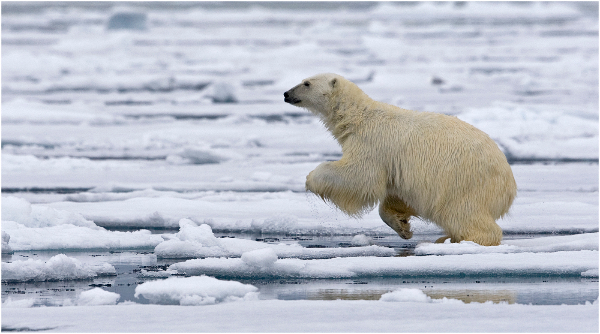 102am-polar-bear-about-to-leap