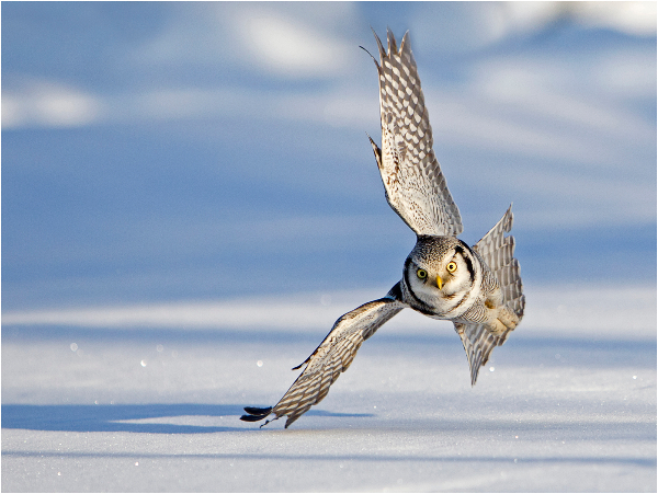 103am-hawk-owl-in-flight