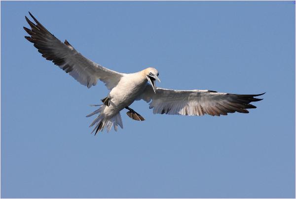 109ap-gannet-prepares-to-plunge
