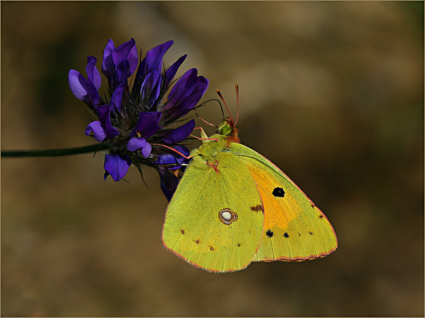 156aw-clouded-yellow-on-blue