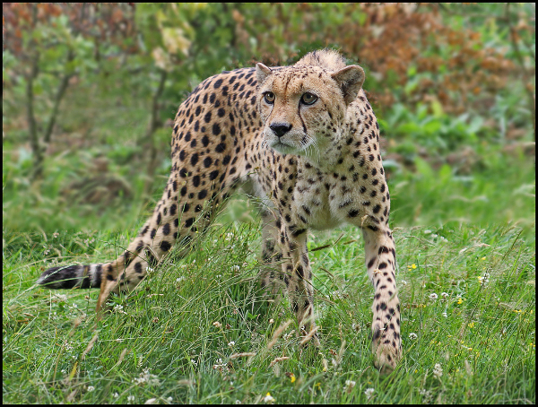 188bc-cheetah-on-the-prowl