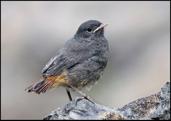 192bc-black-redstart-chick