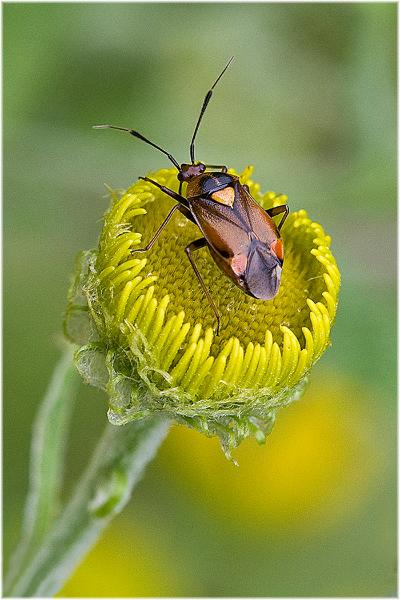 224be-mirid-bug