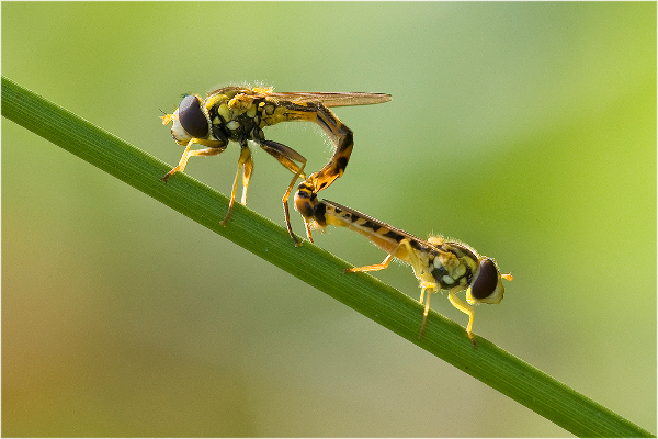 245be-mating-hoverflies