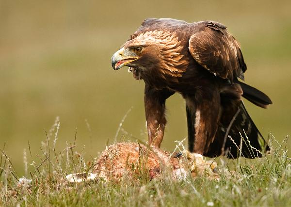 310br-eagle-defending-prey