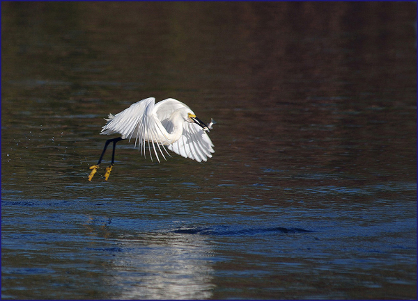 322br-snowey-egret-leaving-water-with-fish