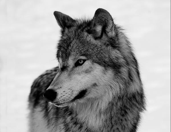 326br-wolf-portrait