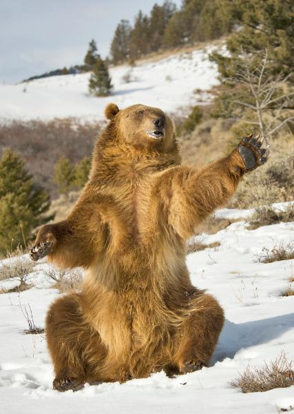 327br-brown-bear