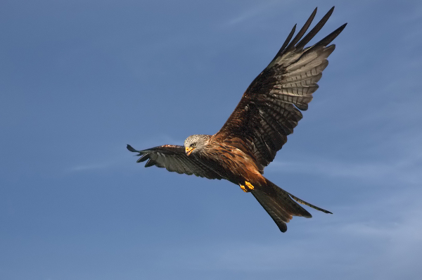 356bv-red-kite-hunting