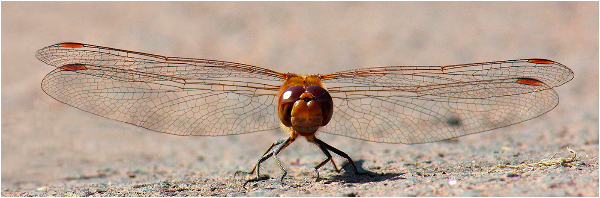 37ac-common-darter-m