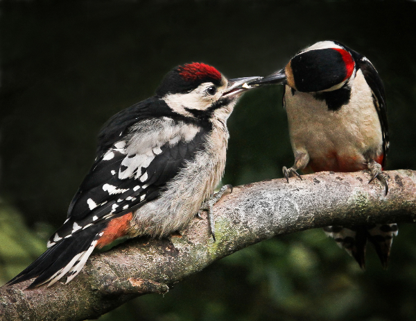 419cg-mother-feeding-young-woodpecker