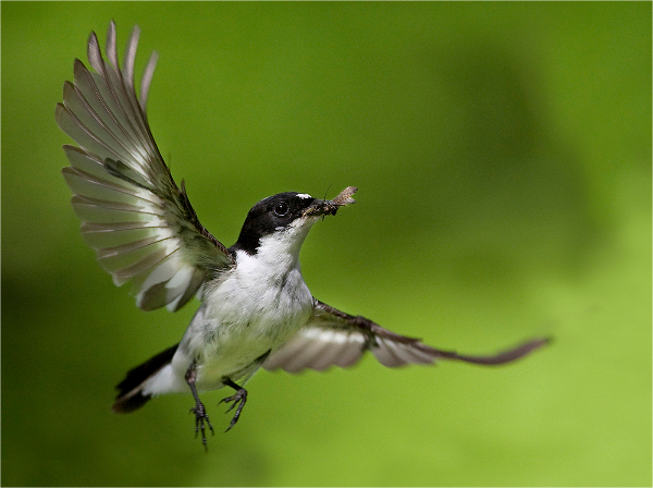 441cg-pied-flycatcher-with-sedge-fly