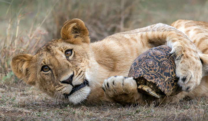 Lion playing with a Leopard Tortoise by Mike Cullis