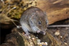 Annette-OConnell-AWPF_Caerphilly-Camera-Club_Bank-Vole-Snacking