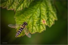 Cheryl-Hewitt_Tenby-District-Camera-Club_Sphaerphoria-sp-Female-Hoverfly