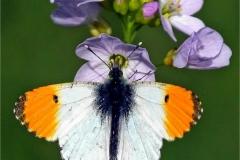 Clifford-Woodhead_Caerphilly-Camera-Club_Male-Orange-Tip-on-Cuckoo-Flower
