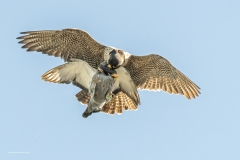 Emma-Woodhouse_RPC_Peregrine-Falcon-and-Prey