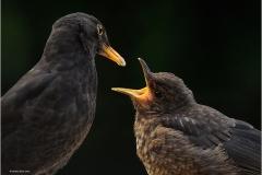 Geoffrey-Baker_Pyle-Porthcawl-Photographic-Society_Blackbirds-Feeding
