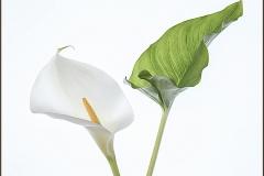 Gill-Jones-Mrs-Mrs_Gwynfa-Camera-Club_Calla-Lilies-are-in-Bloom-Again