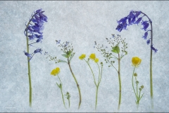 Gill-Jones-Mrs-Mrs_Gwynfa-Camera-Club_Wildflowers-Growing-in-Spring