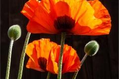 Julie-Morgan-AWPF_Abergavenny-Camera-Club_Sunlit-Beauties