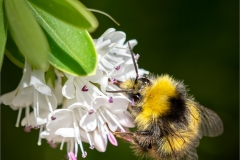 Lin-Wyles-LRPS-CPAGB-BPE1_Hay-Camera-Club_Male-Early-Bumblebee