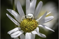 Michael-Baker-AFIAP_Vale-Photographic-Club_Crab-Spider-White-on-White