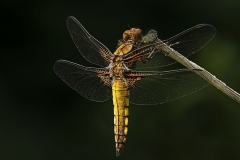 Susan-Carter-ARPS_Monmouth-Photographic-Club_Female-Broad-Bodied-Chaser