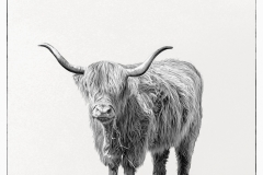 Suzanne-Slee_Afan-Nedd-Camera-Club_Scottish-Cattle-in-Baglan