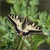 04 Swallowtail.jpg