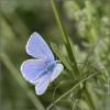 08 Common Blue male.jpg