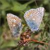 10 Common Blue pair.jpg