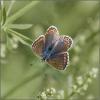 12 Common Blue female.jpg