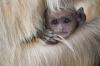 Baby Langur Monkey