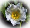 1 Burnet Rose.jpg