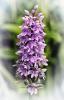 11 Pink Marsh Orchid.jpg