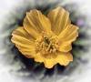2 Welsh Poppy.jpg