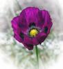 5 Opium Poppy.jpg