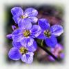 7 Lady's Smock or Cockoo Flower.jpg