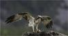 002 The Osprey.jpg