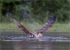 005 The Osprey.jpg
