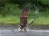 008 The osprey.jpg
