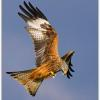 01_Red kite feeding.jpg